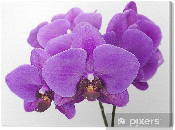 Quadro Su Tela Scuro Orchid Viola Isolato Su Sfondo Bianco Pixers
