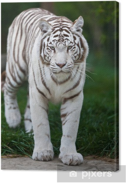 Quadro su tela tigre bianca del bengala u2022 pixers® viviamo per il