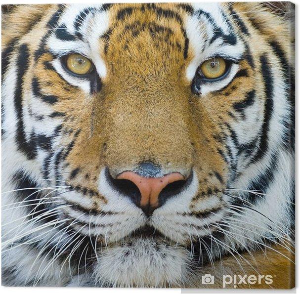 Quadro su Tela Tigre - Tigri