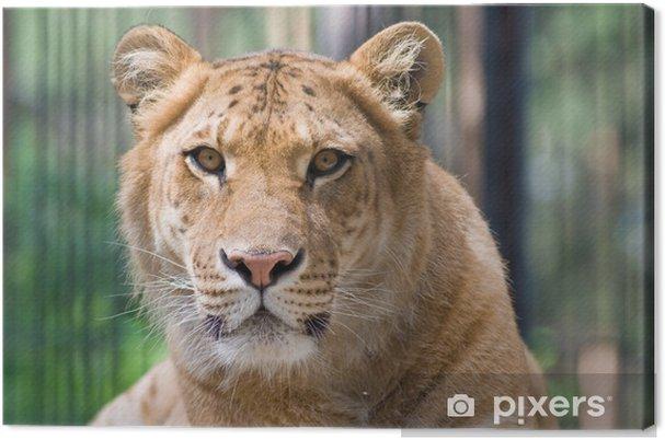 Quadro su tela un liger un incrocio di una tigre e un leone