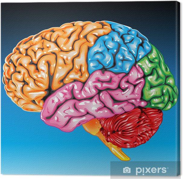 Quadro su Tela Vista laterale di cervello umano - Salute & Medicina