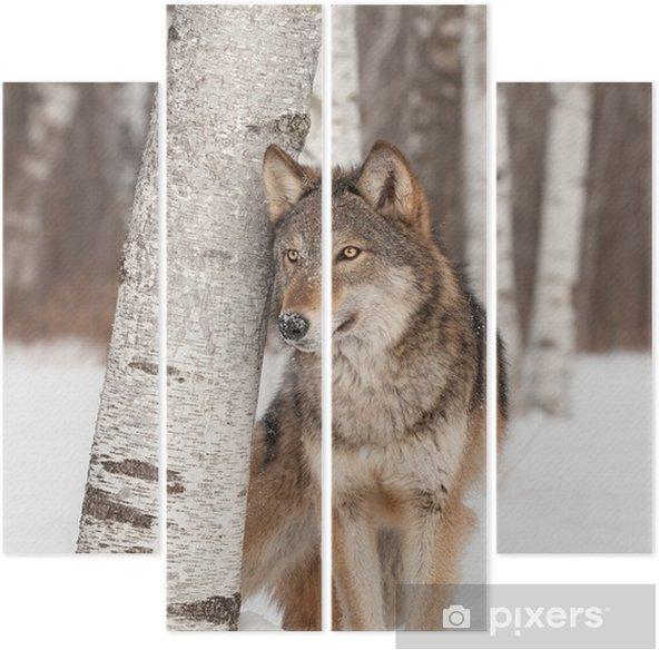 Quadriptychon Grauer Wolf (Canis lupus) steht neben Birke - Themen