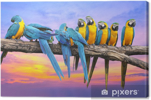 Quadro em Tela Blue and Yellow Macaw with beautiful sky at sunset - Temas