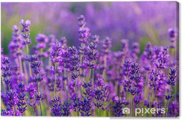 Quadro em Tela Lavender field in Tihany, Hungary - Ervas