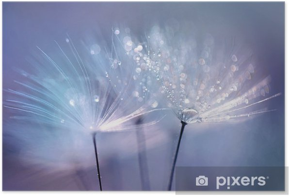 Beautiful dew drops on a dandelion seed macro. Beautiful blue background. Large golden dew drops on a parachute dandelion. Soft dreamy tender artistic image form. Self-Adhesive Poster - Plants and Flowers