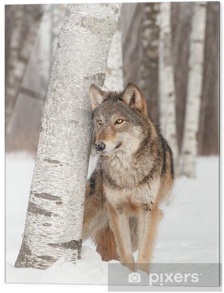Skleněný obraz Vlk (Canis lupus) stojí vedle bříza - Témata