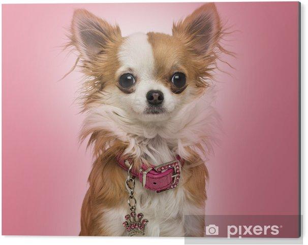 Stampa su Alluminio (Dibond) Chihuahua indossa un collare lucido, seduta su sfondo rosa - Mammiferi