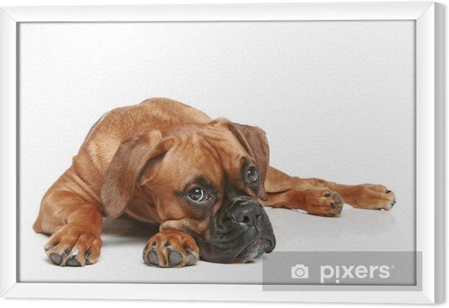 Tableau encadré Chiot Boxer allemand (5 mois) se trouvant sur un fond blanc - Mammifères