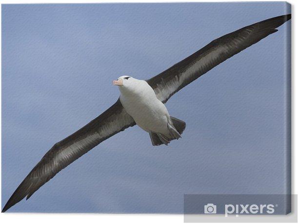 Tableau sur toile Albatros à sourcils noirs (Diomedea melanophris) - Oiseaux