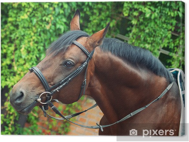 Tableau sur toile Allemand portrait de cheval de dressage - Sports individuels