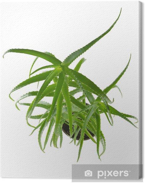 Tableau sur toile Aloe Vera, la vue depuis le sommet - Plantes