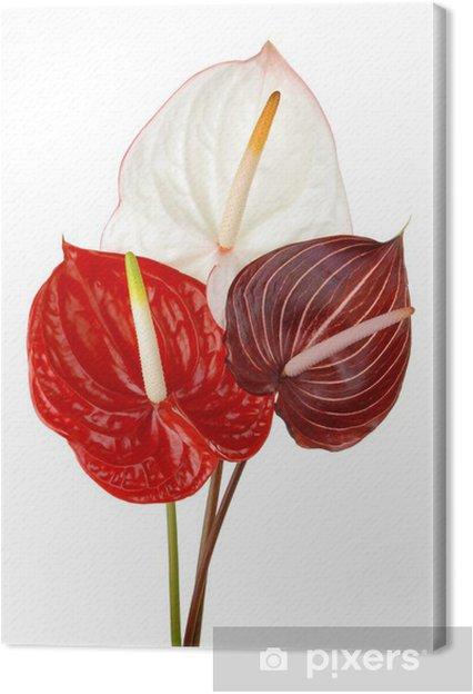 Tableau sur toile Anthurium 4 - Fleurs