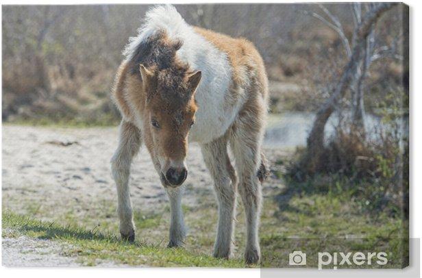 Tableau sur toile Assateague bébé de cheval jeune chiot poney sauvage - Mammifères