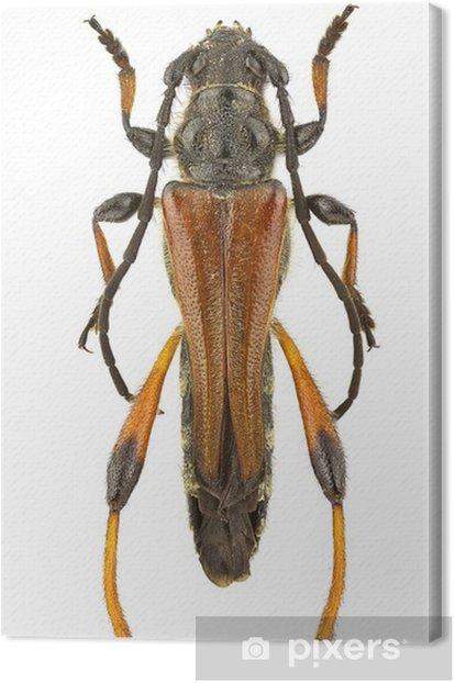 Tableau sur toile Atricornis Stenopterus - Autres Autres