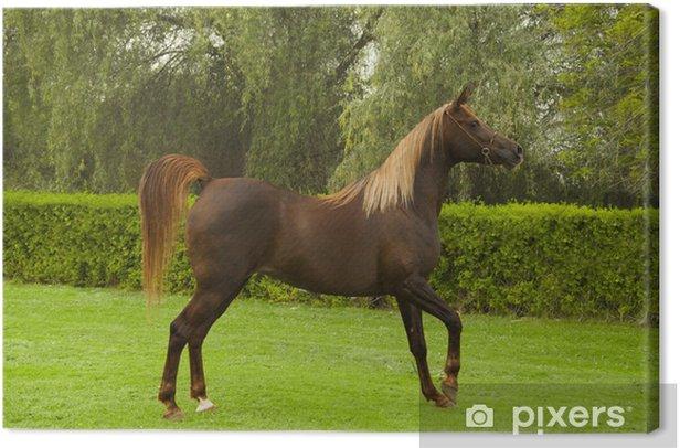 Tableau sur toile Bay Horse égyptienne droite - Mammifères