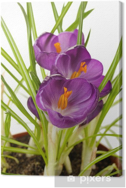 Tableau sur toile Beau crocus mauves en pot de fleurs, close up - Fleurs