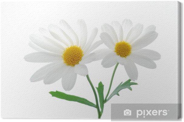 Tableau sur toile Belle marguerite de printemps blanc sur fond blanc - Saisons