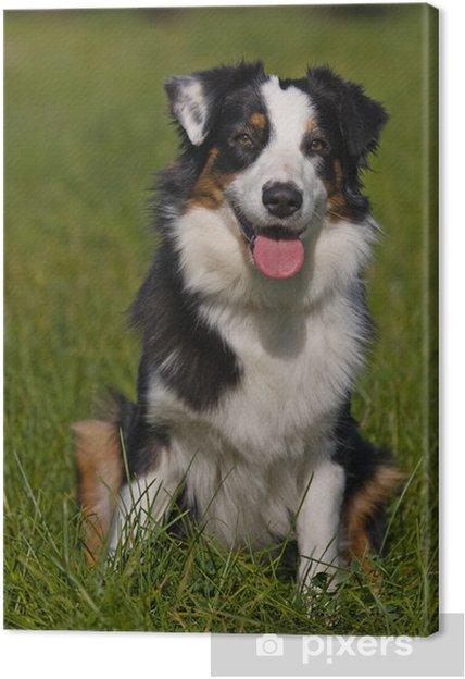 Tableau berger australien 1 tableaux sur toile berger australien chien dans un cadre
