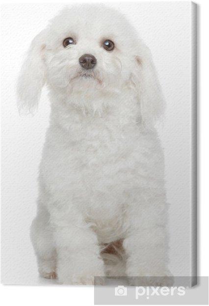 Tableau sur toile Bichon Frise-portrait de chien - Mammifères