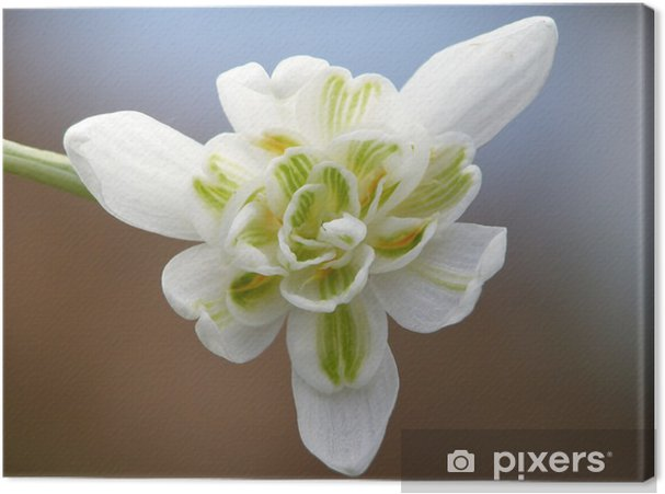 Tableau sur toile Blanc perce-neige - Saisons