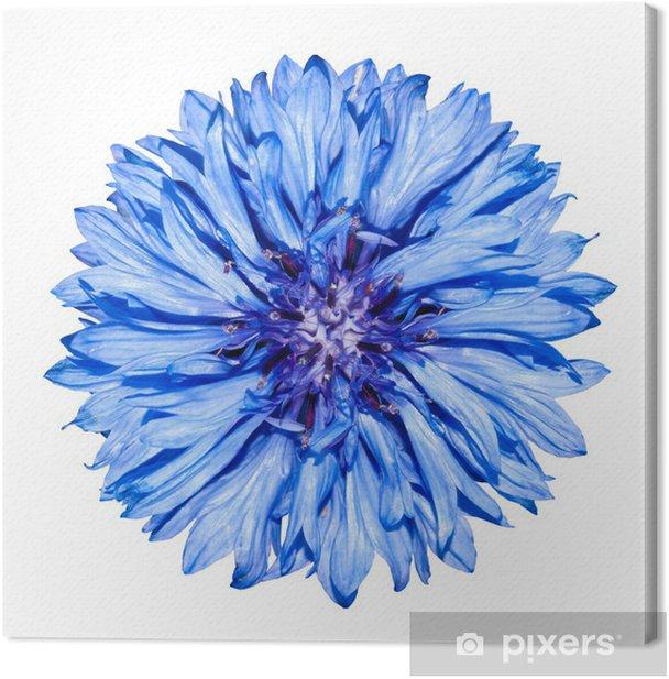 Tableau sur toile Bleu tête de la fleur de bleuet - Centaurea cyanus à blanc - Fleurs