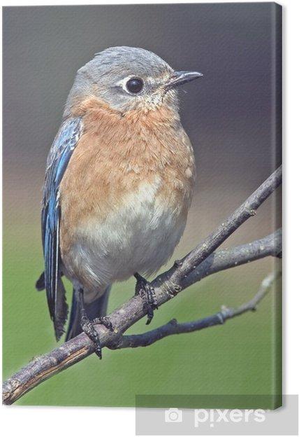 Tableau sur toile Blubird orientale - Oiseaux