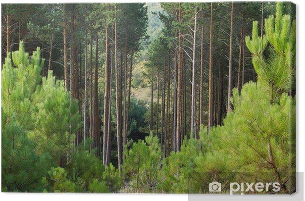 Tableau sur toile Bosque de Pino silvestre. Pinus sylvestris. - Nature et régions sauvages