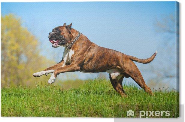 Tableau sur toile Boxeur chien heureux course - Mammifères