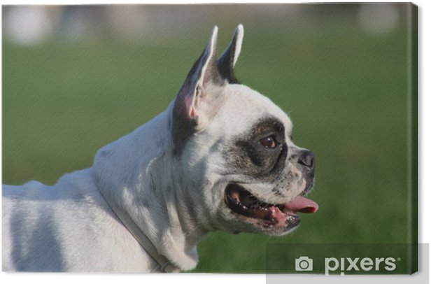 Tableau sur toile Bulldog frances - Mammifères