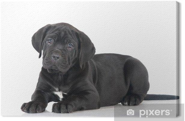 Tableau sur toile Canne noire corso puppy - Mammifères