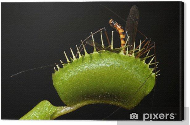 Tableau sur toile Carnivore moustique géant usine de piéger dans sa feuille - Merveilles naturelles