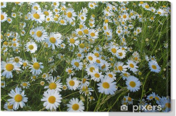 Tableau sur toile Chamomile - Fleurs
