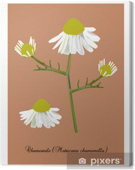 Tableau sur toile Chamomile - Merveilles naturelles