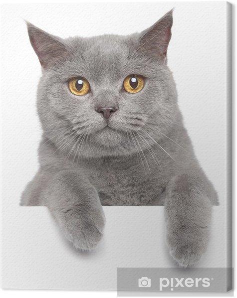 Tableau sur toile Chat gris britannique sur une banderole blanche - Mammifères