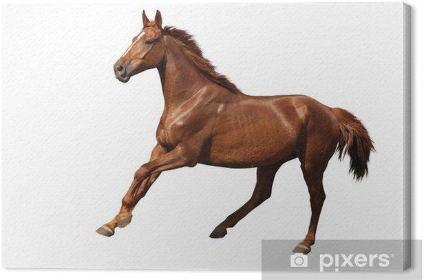 Tableau sur toile Cheval brun galop libre isolé sur blanc - Sticker mural