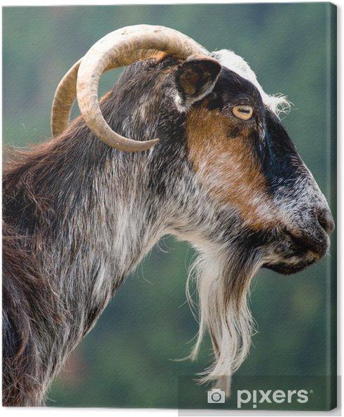 Tableau sur toile Chèvre - Mammifères