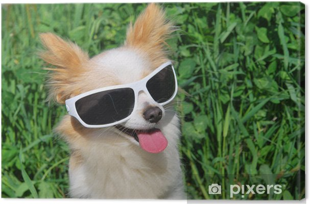 a6d22bed6fd98 Tableau sur toile Chihuahua à poil long de lunettes de soleil ...