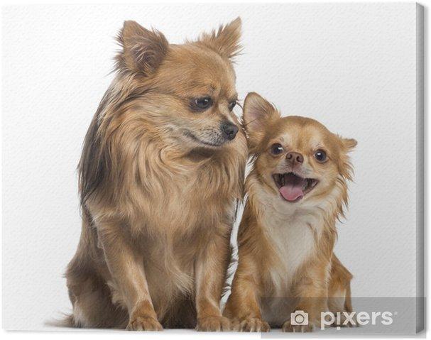 Tableau sur toile Chihuahua assis et regardant à un chihuahua heureux - Mammifères