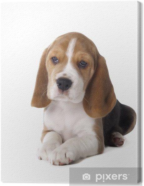 Tableau sur toile Chiot beagle - Mammifères
