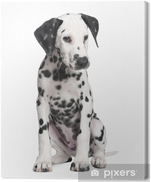 Tableau dalmatien 5 tableaux sur toile chiot dalmatien