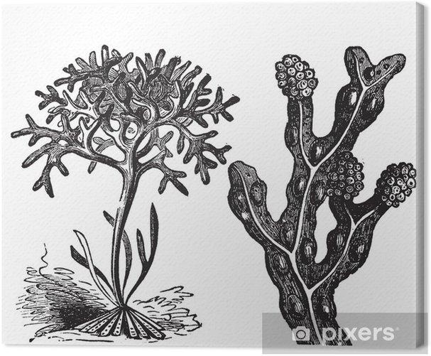 Tableau sur toile Chondrus crispus, mousse d'Irlande ou Fucus, fucus - Fleurs