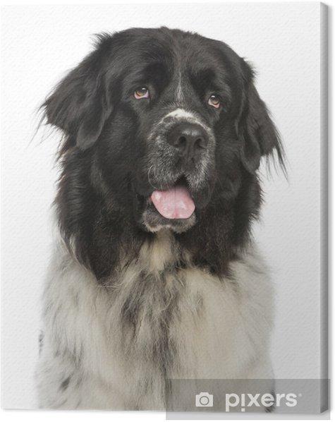 Tableau sur toile Close-up d'un halètement de chien de Terre-Neuve, à la recherche, 2 ans - Mammifères
