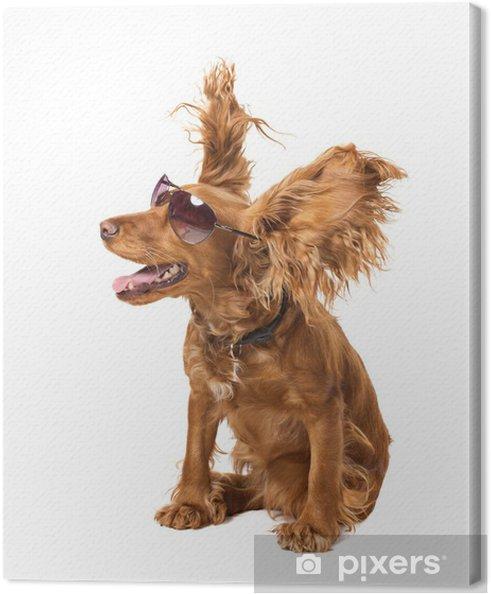Tableau sur toile Cocker de chien de lunettes de soleil - Mammifères