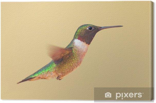 Tableau sur toile Colibri à gorge rubis (Archilochus colubris) en vol - Oiseaux