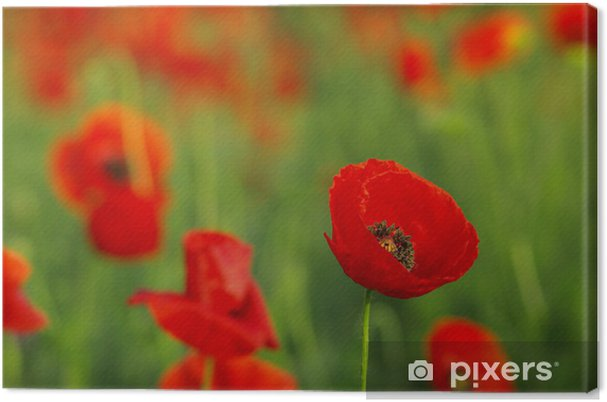 Tableau sur toile Coquelicots rouges sur le pré de printemps - Fleurs