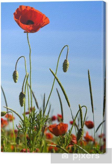 Tableau sur toile Coquelicots - Fleurs