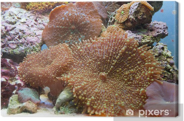 Tableau sur toile Corallo actinodiscus - Animaux marins