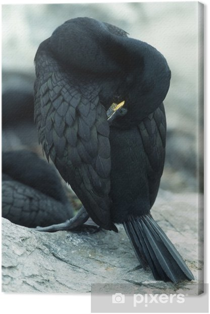 Tableau sur toile Cormoran - Oiseaux