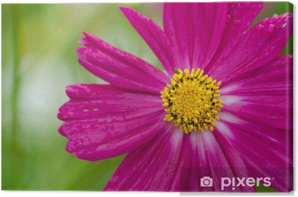 Tableau sur toile Cosmos simples fleurs - Fleurs