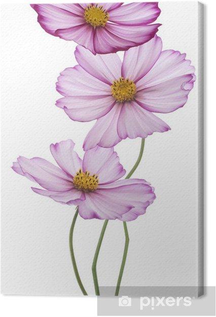 Tableau sur toile Cosmos - Fleurs
